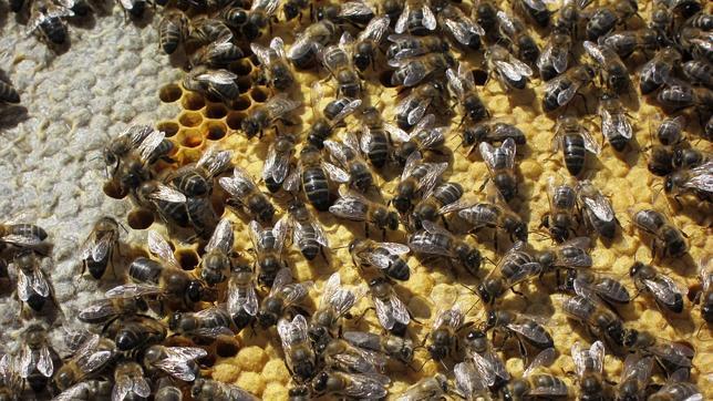 Los pesticidas afectan al sistema nervioso de las abejas, provocándoles, incluso, la muerte