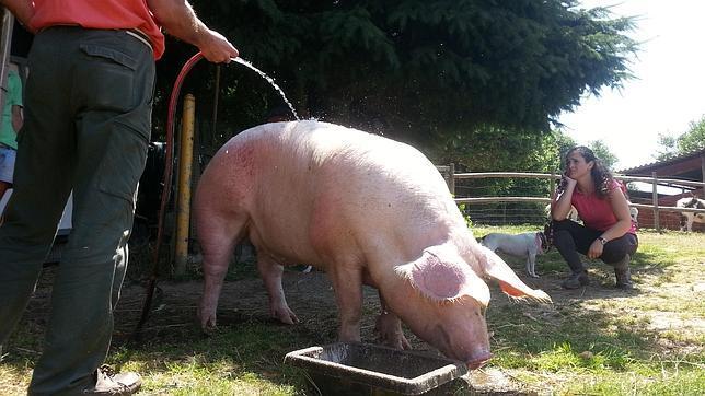 El cerdo Antón vive ahora en la Granja Escuela de Belelle