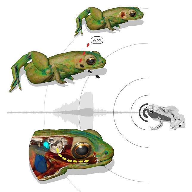 La rana que oye con la boca