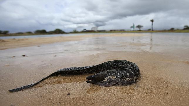 Una anguila muerta