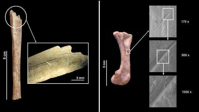 Los neandertales comían gatos salvajes