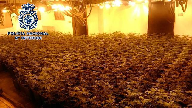 Las plantas de marihuana incautadas por la Policía Nacional en Denia