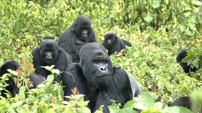 Familia de gorilas de montaña en la cordillera de Virunga
