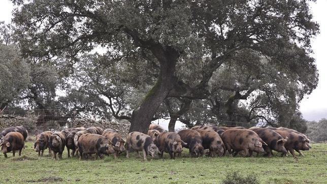 La estirpe Manchado de Jabugo aparece como variedad de Cerdo Ibérico en peligro de extinción en el Catálogo Oficial de Razas de Ganado de España