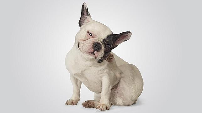 Un bulldog francés en pleno momento de alergia