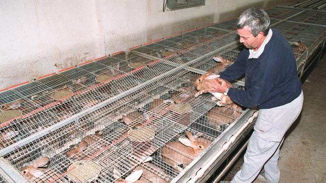 Las Granjas De Conejo En La Ruina Peligran 300 Empleos