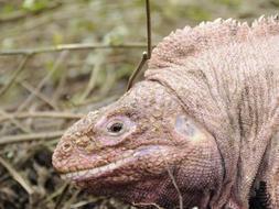 Imagen reciente de la iguana rosada residente en las islas Galápagos que el científico Charles Darwin no descubrió durante sus expediciones. / Afp