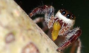 La primera araña vegetariana del mundo