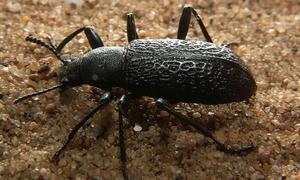 Un escarabajo de Alaska que vive a -60 grados tiene la clave para no congelarse