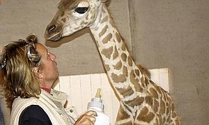 La primera cría de jirafa que nace en el Bioparc es rechazada por su madre