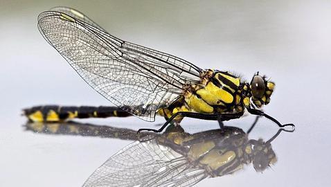 Crían libélulas gigantes en laboratorio