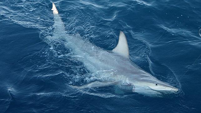 Descubren el primer tiburón híbrido en Australia