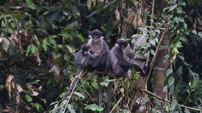 Hallan en Borneo monos lagures grises de Miller, que se creían extintos