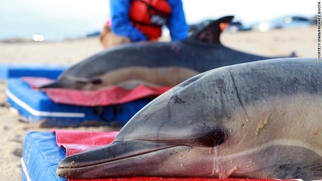 Encuentran 81 delfines muertos en la costa noreste de Estados Unidos