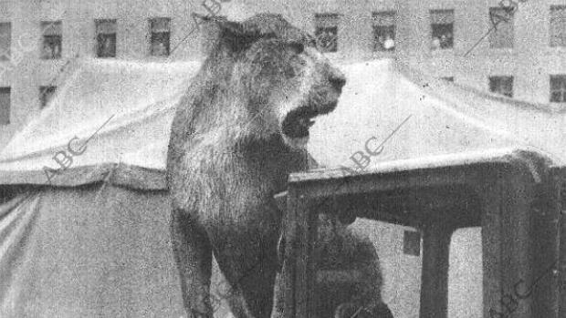 La leona «Sheriff» sobre el motor de una camioneta en la calle Ríos Rosas