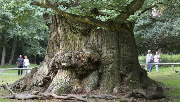«Los árboles de roble de Ivenack» en el parque Wildpark Ivenack, en Ivenack (Alemania)