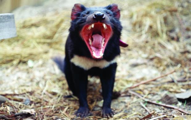 El demonio de Tasmania