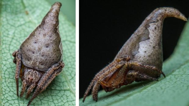 La araña «eriovixia gryffindori»