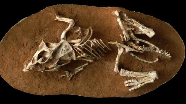 Una cría de Protoceratops andrewsi del desierto de Gobi, en Mongolia