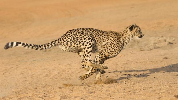 Un guepardo en plena carrera