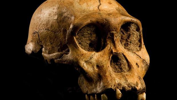 Cráneo de la especie «Australopithecus sediba». Los australopitecinos fueron los primeros primates en los que el tamaño cerebral se disparó