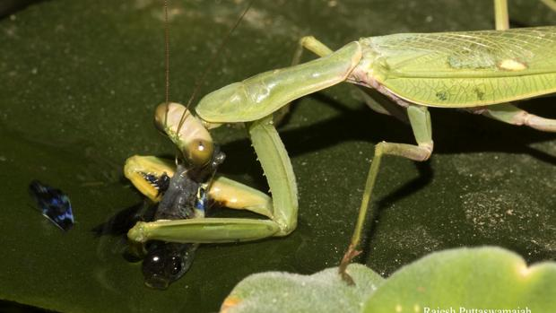 La mantis religiosa, devorando un guppy