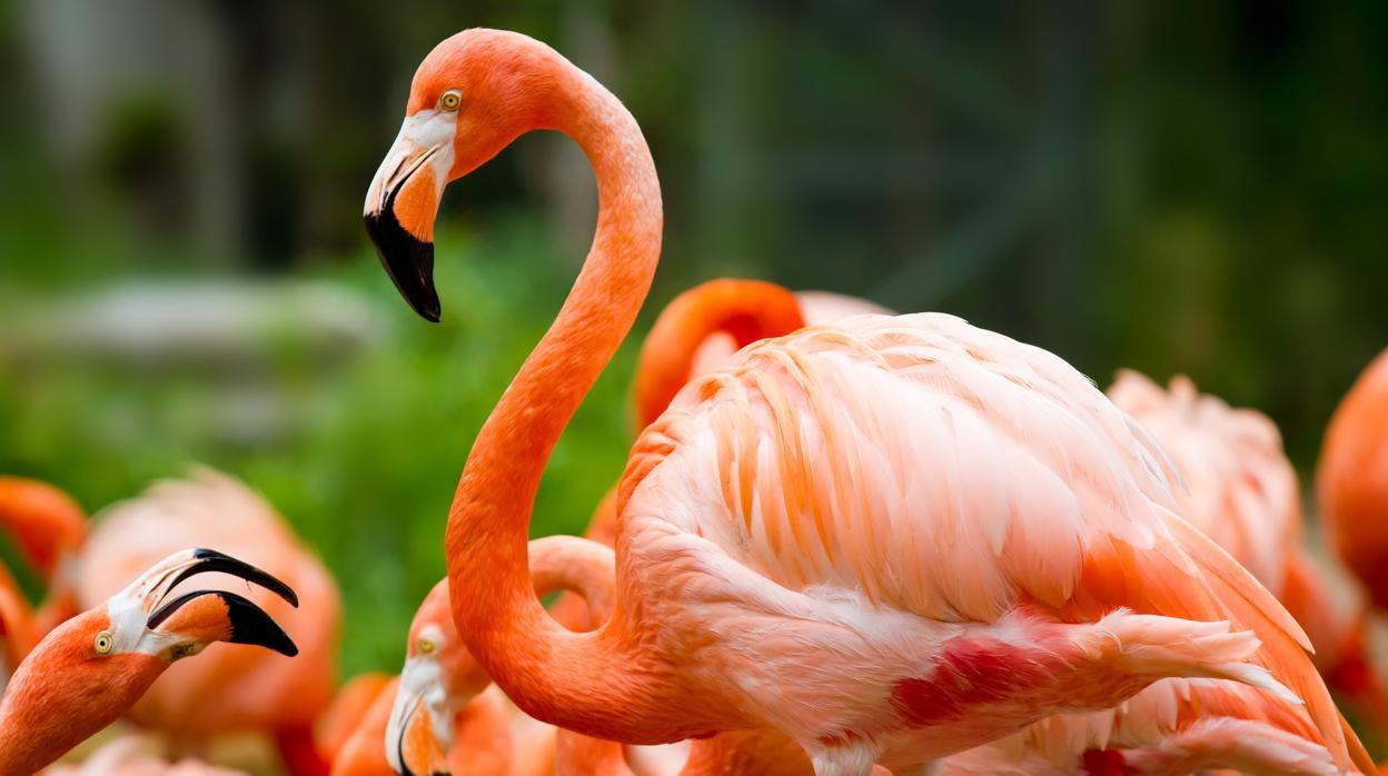 Flamenco, de las aves mexicanas más bellas.