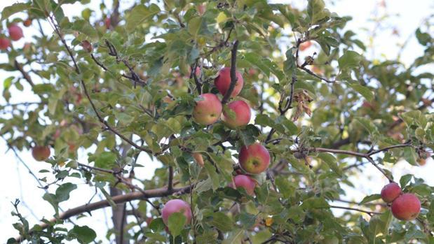 Las manzanas silvestres en las montañas Tien Shan representan la principal población ancestral de la manzana moderna. Estos árboles fueron los antepasados de los que la gente comenzó a cultivar y difundir a lo largo de la Ruta de la Seda