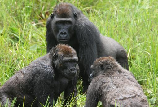 Descubren que los gorilas tienen amigos para toda la vida y celebran grandes «fiestas» anuales 205516-kAr--510x349@abc