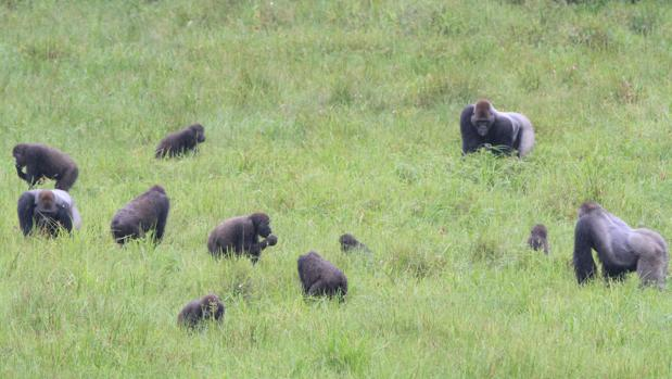 Tres grupos distintos de gorilas se mezclan mientras comen en el claro de Mbeli Bai, en el Parque Nacional de Nouabale-Ndoki, en República del Congo