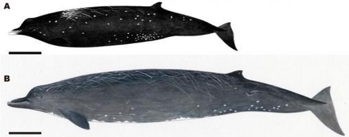 Ilustración que compara la nueva especie B. minimus (A) y la ballena picuda de Baird (B. bairdii) (B)