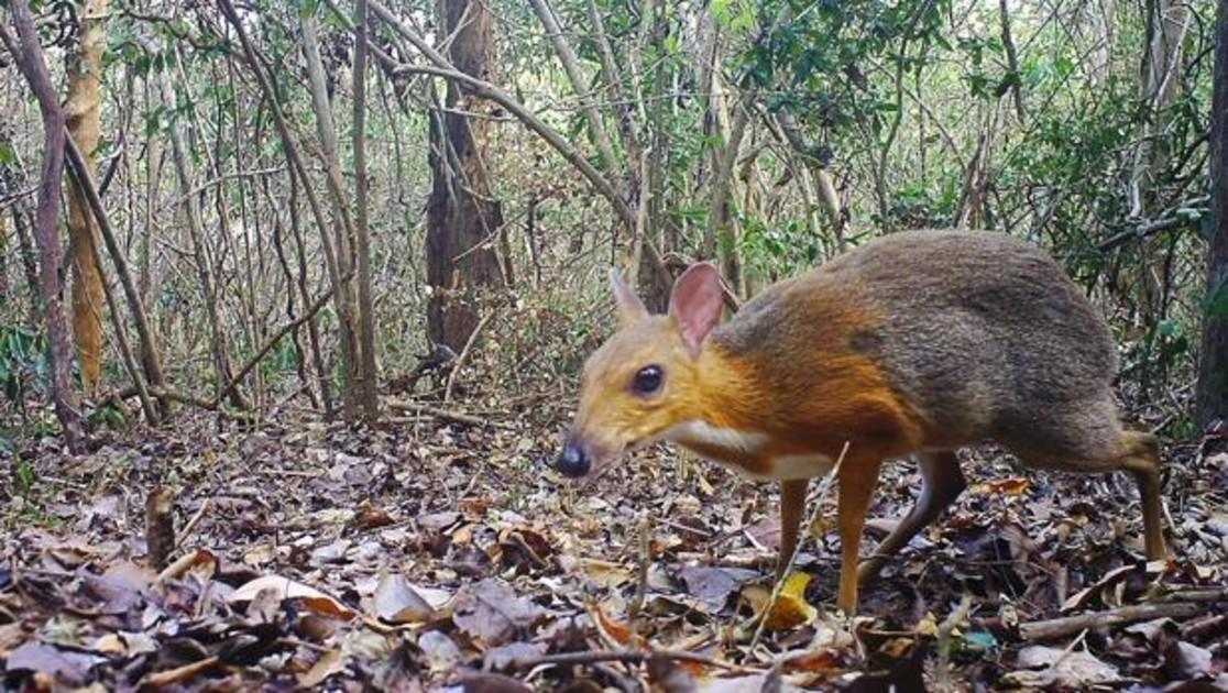 Redescoberto o Cervo-rato, que se acreditava extinto por 30 anos