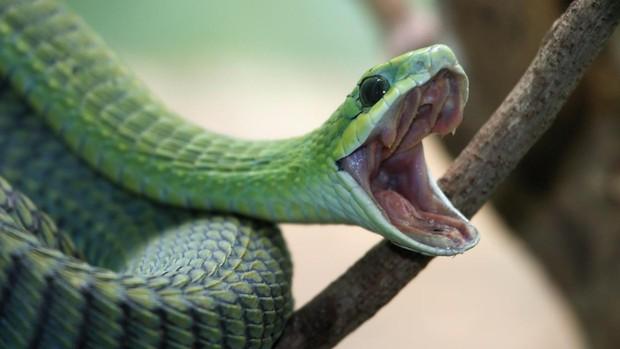 Crean en laboratorio órganos de serpiente que producen veneno real