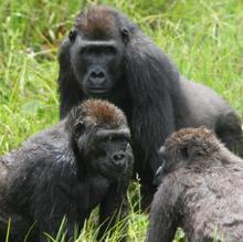 Un grupo de gorilas jóvenes socializando