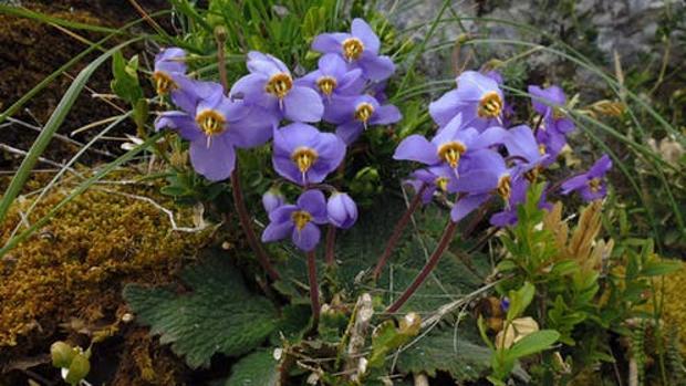 La oreja de oso, la planta del Pirineo que guarda el secreto de la resurrección