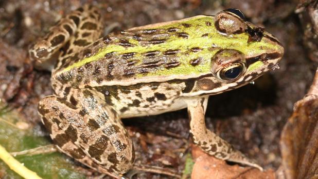 La rana «Pelophylax nigromaculatus». El escarabajo «Regimbartia attenuatapuede» sobrevive después de ser tragado, y parece ser capaz de inducir la apertura de la cloaca de los anfibios