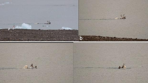 Captan por primera vez las imágenes de un oso polar cazando a un reno dentro del agua