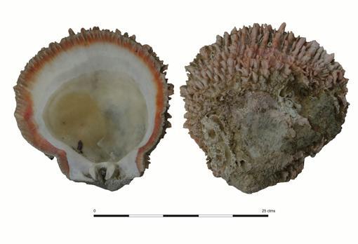 Concha Spondylus del yacimiento de Ligüiki