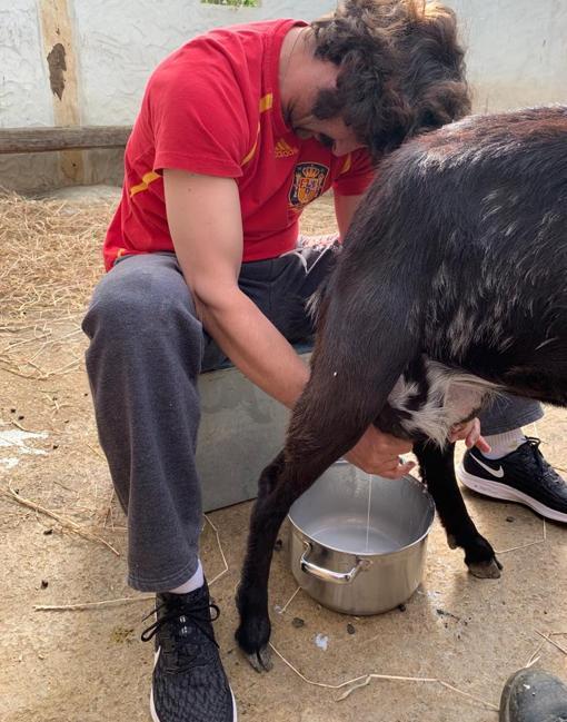 Morante, ordeñando una cabra