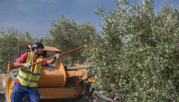 Recogida de aceitunas en Jaén