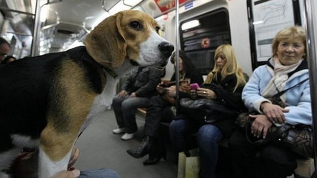 Un beagle, en el metro
