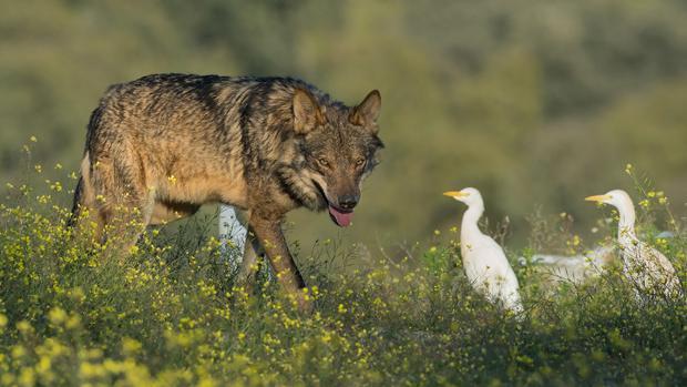 Un lobo durante el rodaje, que duró casi dos años