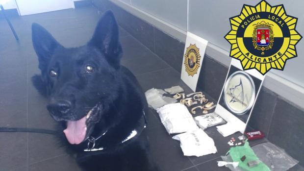 El perro de la Unidad Canina de la Policía Local de Alicante, junto a la droga intervenida