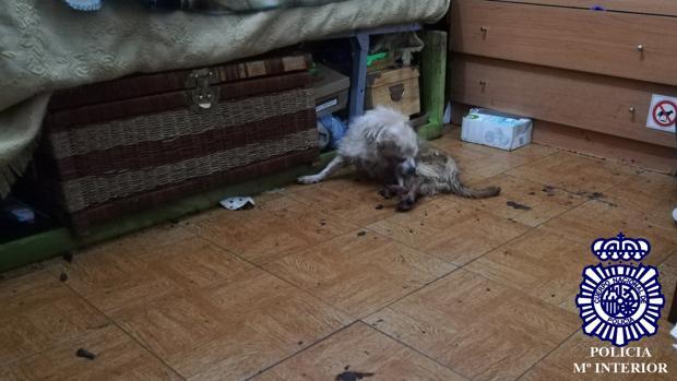 El perro, tal cual se lo encontró la policía en la habitación en la que había sido encerrado y abandonado