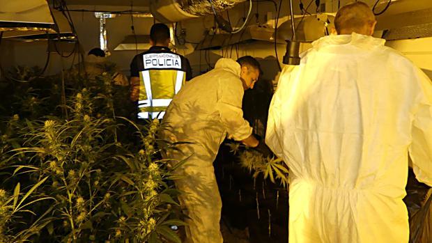 Tres policías nacionales en la plantación descubierta