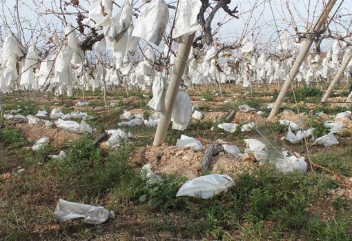 Racimos de la uva embolsada con denominación de origen por el suelo
