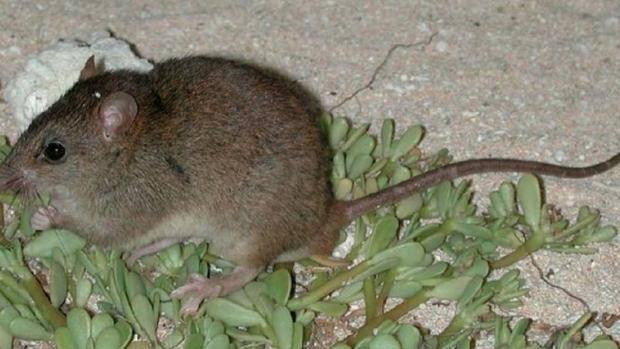 Hay especies de pequeños mamíferos que no superan los 50 ejemplares o cuyo ámbito de distribución se reduce a una isla
