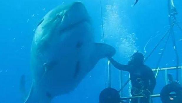 Un ejemplar de tiburón blanco, «chocando los cinco». Vídeo que se convirtió en viral en su día