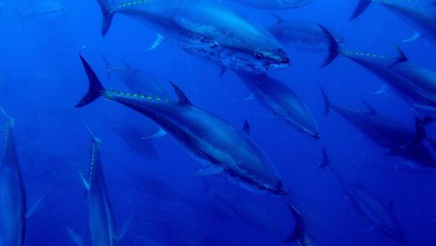 La creación de AMP vuelve a los peces más precavidos