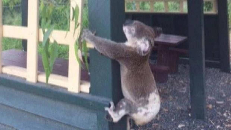 Algo que declarar? Detienen a una mujer que tenía un koala